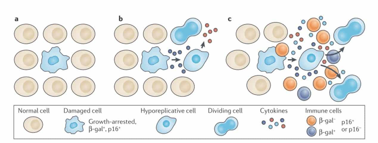 células senescentes y fenotipo secretor