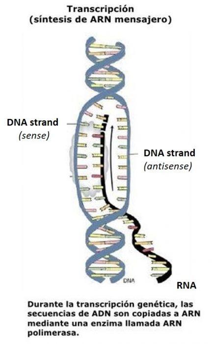 transcripcion de adn o cómo se leen los genes