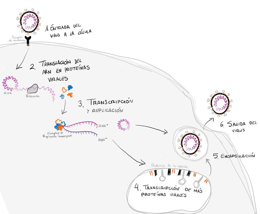 Replicación del coronavirus