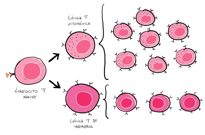 Expansión clonal de linfocitos T